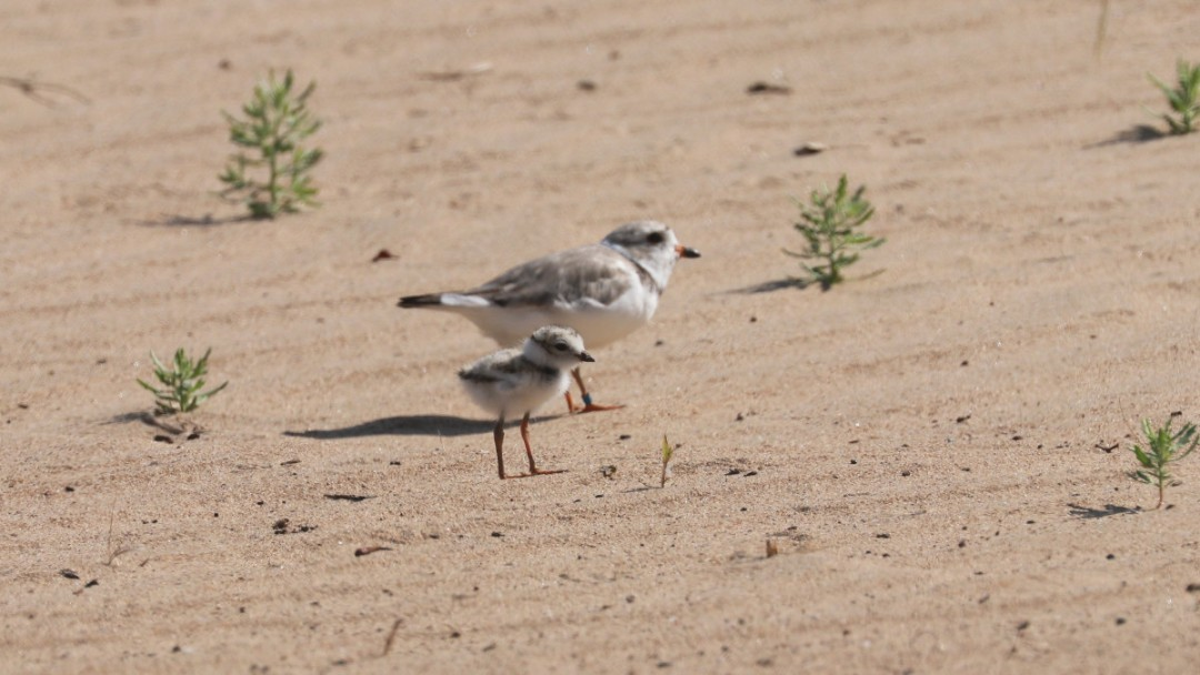 Help Prepare Montrose Beach For Return Of Piping Plovers Monty And Rose At Shedd Aquarium's Action Day